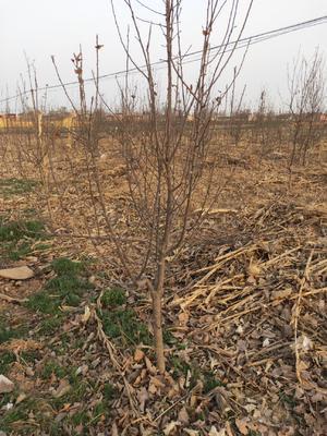 这是一张关于红富士苹果苗  2.0~2.5米 苹果占地树的产品图片