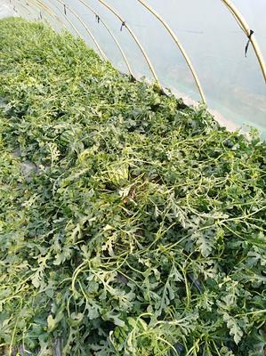 云南省西双版纳傣族自治州景洪市8424西瓜 10斤打底 8成熟 1茬 无籽