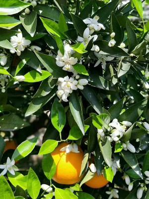 这是一张关于伦晚脐橙 80-85mm 4-8两 帝王橙-伦晚的产品图片