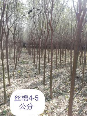 陕西省西安市灞桥区丝棉木