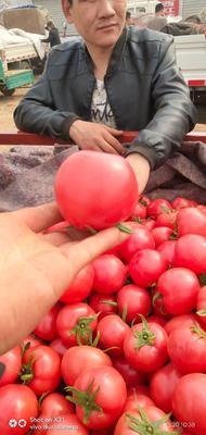 河北省邯郸市肥乡县硬粉番茄 精品 弧二以上 硬粉