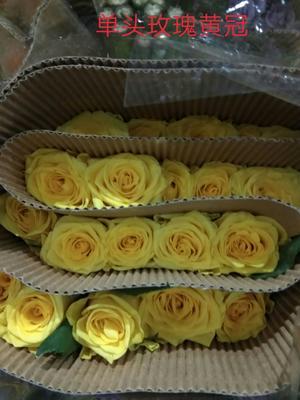 云南省昆明市呈贡区黄玫瑰