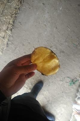 黑龙江省哈尔滨市宾县尤金885土豆 3两以上