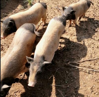 广西壮族自治区河池市巴马瑶族自治县巴马香猪 20斤以下