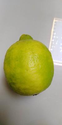 广东省惠州市博罗县尤力克柠檬 1.6 - 2两