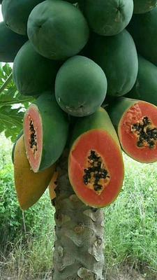 广西壮族自治区南宁市上林县红心木瓜 1.5 - 2斤