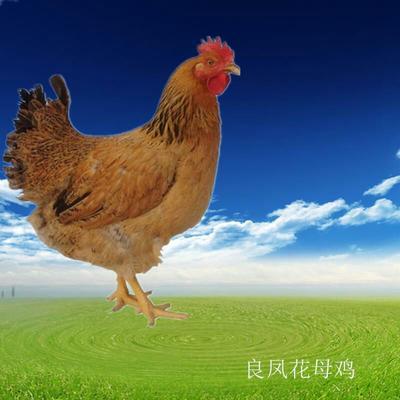 这是一张关于良凤花鸡苗 的产品图片