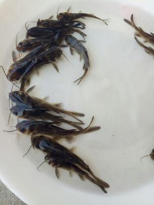 重庆大足区黄颡鱼苗