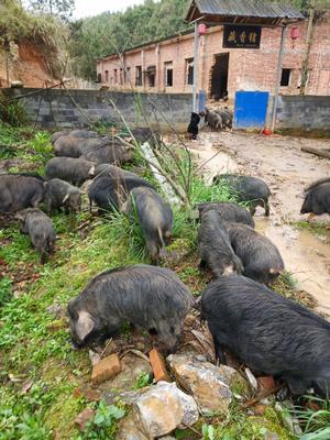 湖南省永州市道县藏香猪 20-40斤