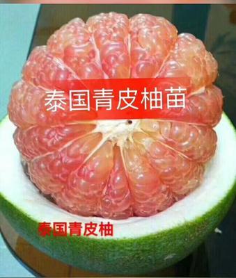 这是一张关于泰国青柚苗 的产品图片
