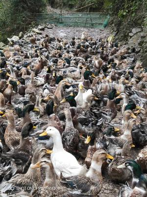 这是一张关于麻鸭 5-6斤 统货 全散养 的产品图片