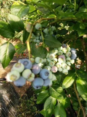 辽宁省丹东市凤城市北陆蓝莓 8 - 10mm以上 鲜果