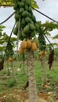 广西壮族自治区南宁市上林县红心木瓜  1.5 - 2斤 净重9斤