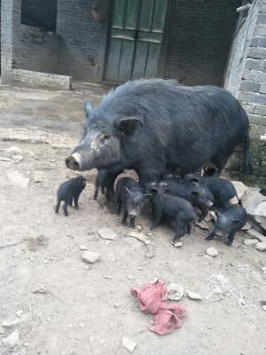 江西省吉安市泰和县藏香猪 60斤以上