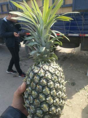 山东省青岛市李沧区海南菠萝 1.5 - 2斤