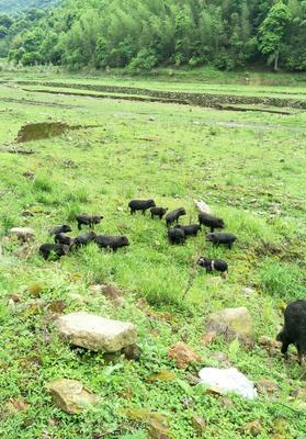江西省吉安市泰和县小香猪 20-40斤