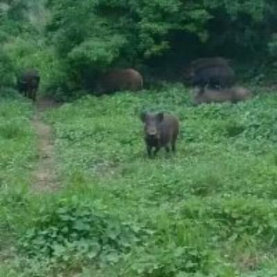 这是一张关于生态野猪  统货 100斤以上 500斤以上起批,生态养殖,的产品图片