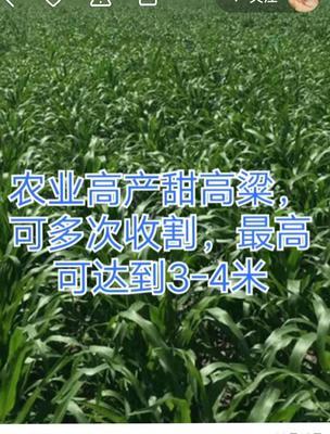 贵州省黔西南布依族苗族自治州望谟县甜高粱种子 亲本(不育系) ≥99%
