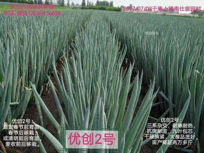 山东省潍坊市坊子区安丘大葱 30~50cm 毛葱