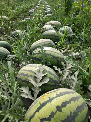 陕西省渭南市临渭区甜王西瓜 8斤打底 8成熟 1茬 有籽