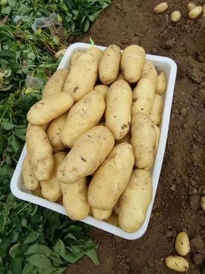 山东省潍坊市寿光市荷兰15号土豆 6两 箱装,单个半斤以上,量大从优