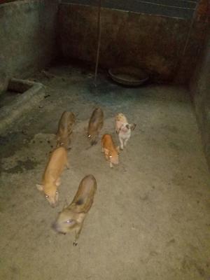 广西壮族自治区河池市东兰县野香猪 60斤以上