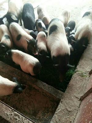 江西省吉安市泰和县巴马香猪 80斤以上