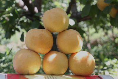 这是一张关于白水杏树苗 的产品图片