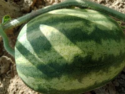 山西省临汾市大宁县8424西瓜 10斤打底 9成熟 1茬 有籽