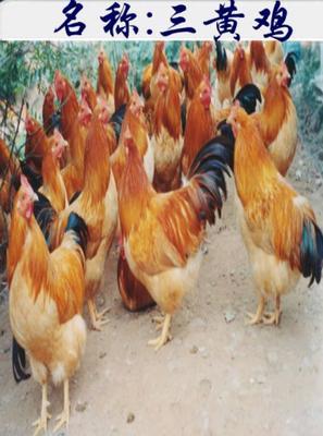 这是一张关于三黄鸡苗 的产品图片