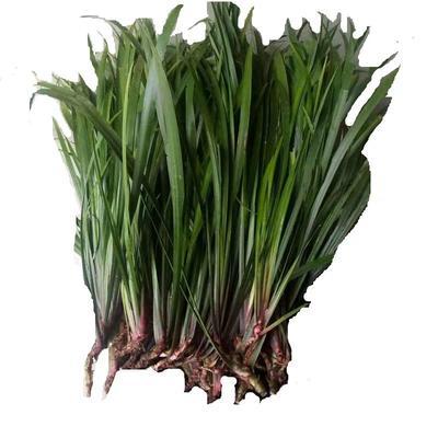 这是一张关于香草兰 不含盆 的产品图片