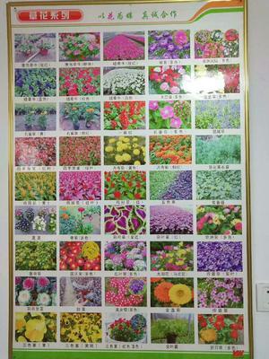 山东省潍坊市青州市草花  各种草花大量上市