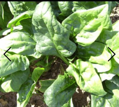 这是一张关于越冬菠菜 30~35cm 的产品图片