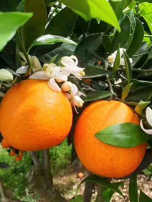 这是一张关于青见柑桔 7.5 - 8cm 3两以上 的产品图片
