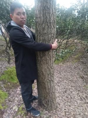 湖南省怀化市靖州苗族侗族自治县银杏实生树