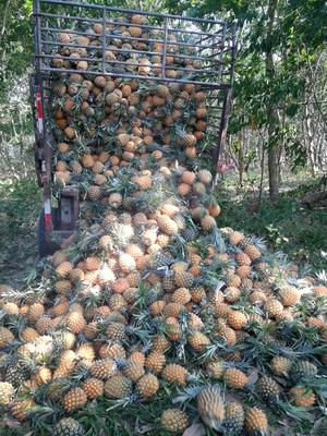海南省海南省东方市海南菠萝 1 - 1.5斤