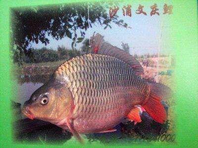 广东省佛山市高明区鲤鱼苗