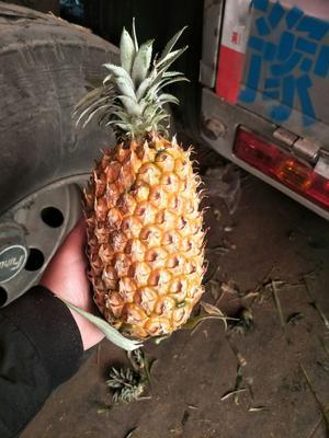河北省邯郸市丛台区海南菠萝 1.5 - 2斤