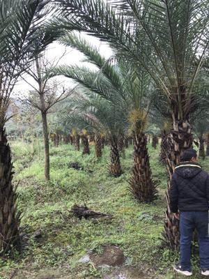 这是一张关于中东海枣 的产品图片