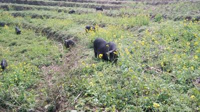 贵州省黔西南布依族苗族自治州兴仁县从江香猪 40-60斤