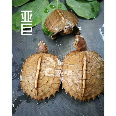 广东省湛江市霞山区亚洲巨龟