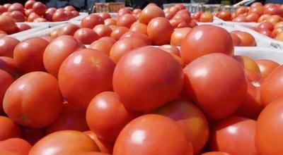四川省攀枝花市米易县硬粉番茄 通货 弧三以上 大红