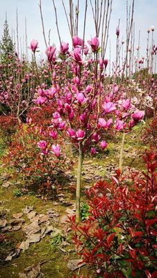 湖北省咸宁市咸安区茶花树 140cm以上