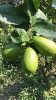 广西壮族自治区玉林市北流市台湾无籽柠檬 2.7 - 3.2两