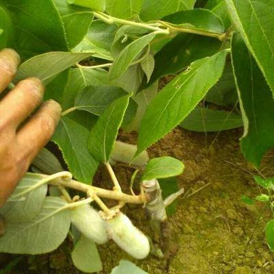 这是一张关于小指猕猴桃苗 嫁接苗 的产品图片