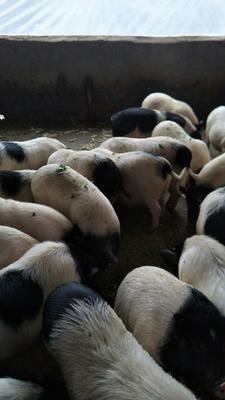 江西省吉安市峡江县巴马香猪 60斤以上