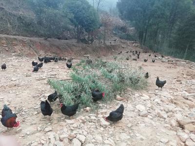 湖南省娄底市娄星区土鸡 4-5斤 母