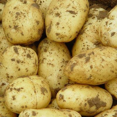 山西省大同市城区好土豆  土豆