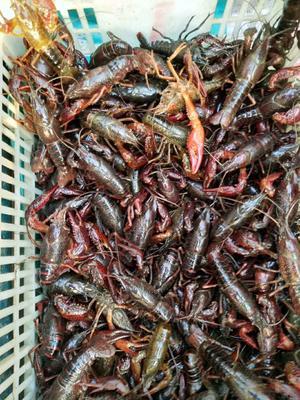这是一张关于潜江小龙虾 4-6钱 稻田虾 的产品图片