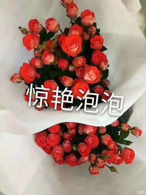 云南省昆明市呈贡区多头玫瑰 多头玫瑰小苗